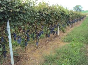 La vigna di Rosignano poco prima della Vendemmia 2013